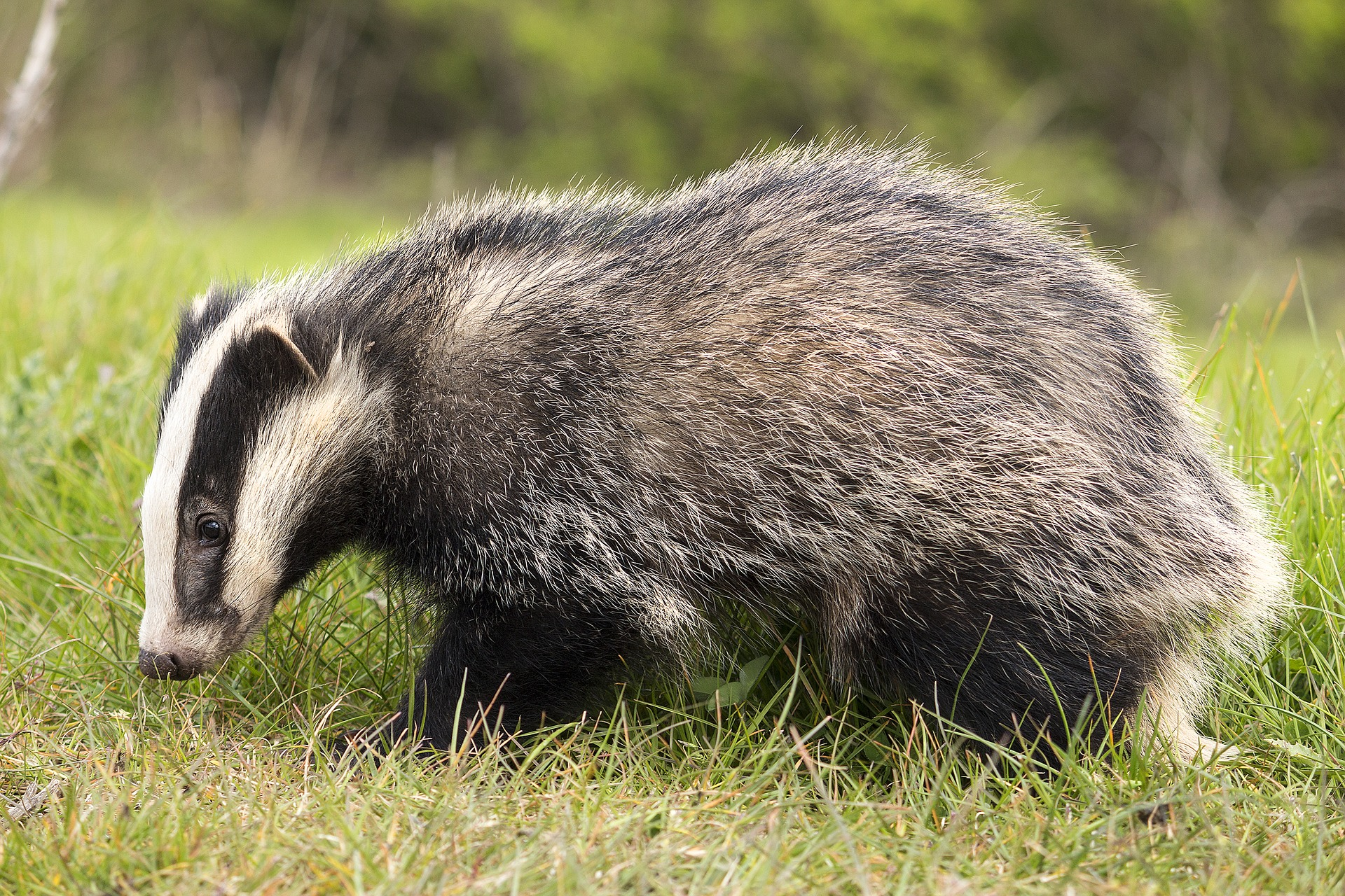 badgers are farmed to make shaving briushes, but the best shaving brush is made from synthetic bristles